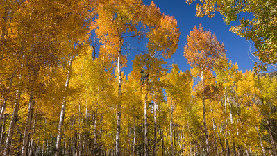 Colorado Aspens ~ 2013