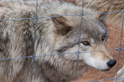 Wolf Preserve ~ Divide, Colorado