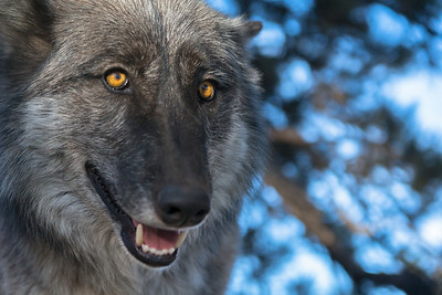 Wolf Sanctuary ~ Guffey, CO